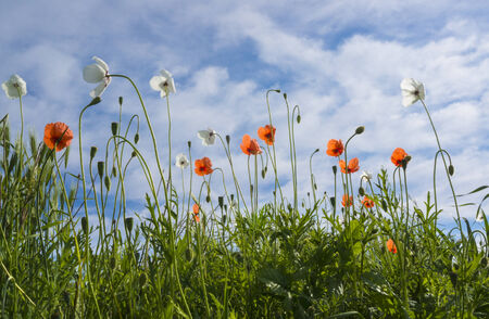 White and red poppies against blue sky with white clouds on a clear spring day. photo