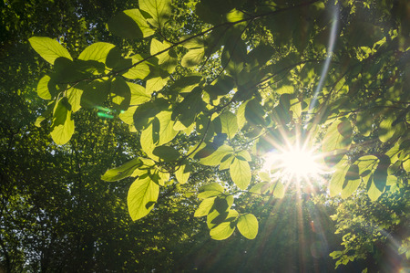 shinning leaves: Ray of sunlight shinning through the green leaves of trees in the forest.