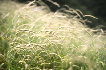 gently: Beautiful long grasses gently rocking in the wind.