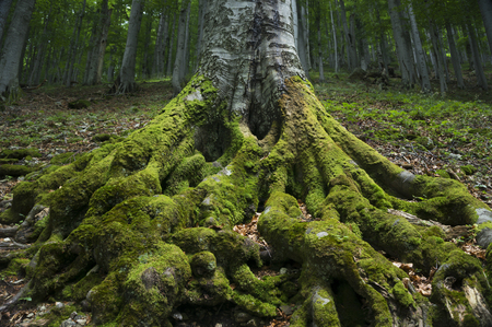 rooted: The powerful roots of an ancient beech tree rooted firmly in the ground.