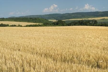 cebada: Los campos de cebada madura en un día claro de verano.
