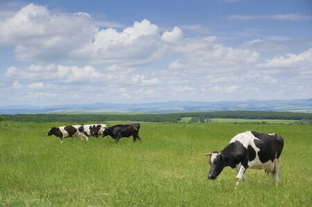 grazing: Cows grazing the fresh green grass in springtime.