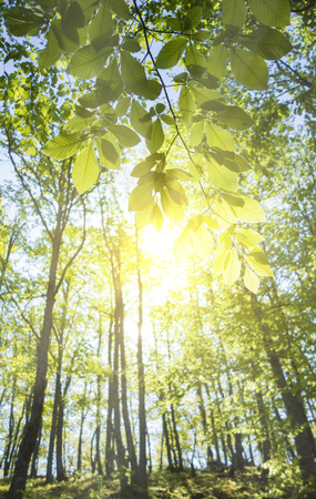 summer nature: Bright rays of morning light coming through the fresh new leaves of a beech tree. Stock Photo