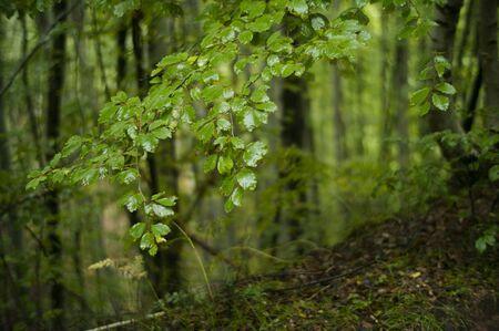 lush: Beach tree lush green foliage.