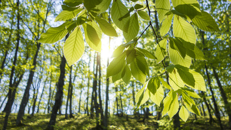 Bright rays of morning light coming through the fresh new leaves of a beech tree. Stock Photo
