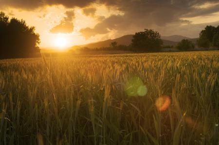 Barley: Beautiful golden sunset over fields of barley. Stock Photo