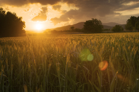 cebada: Hermoso atardecer dorado sobre los campos de cebada.