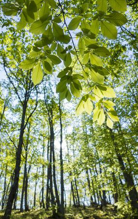 Helle Sonnenstrahlen kommen durch die neue, frische Blätter einer Buche. Standard-Bild - 48070381