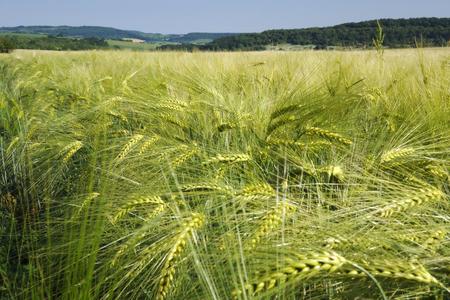 cebada: Campo de cebada verde fresco en un día claro de primavera.