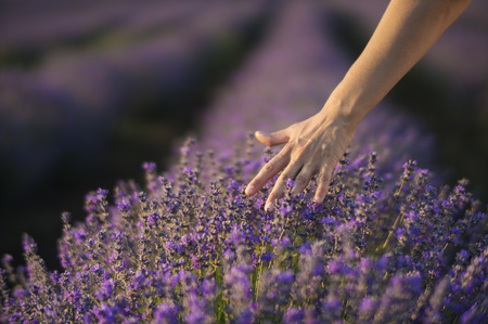 여성 손 부드럽게 라벤더의 필드에 라벤더 덤 불 꽃의 꼭대기 만지고. 스톡 콘텐츠