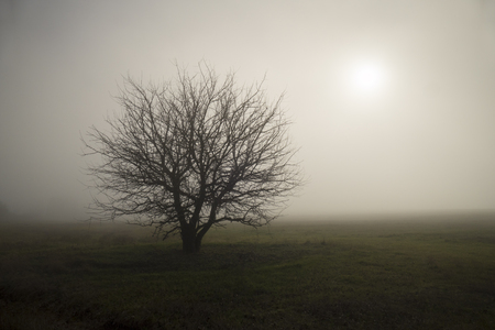 mist: Lonely tree standing in the fog the middle of a field.