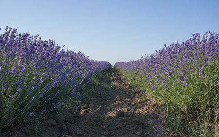 lavender coloured: Straight rows of brightly coloured lavender in bloom on a clear sunny summer day. Stock Photo
