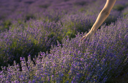 Female hand gently touching the tops of lavender bushes in bloom in a field of lavender.