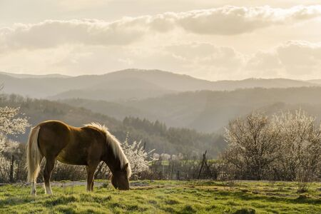 Beautiful young horse grazing on a green meadow with blossoming trees in a sunny day in spring.