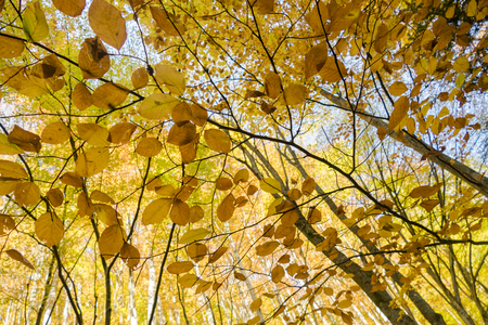 Beech tree leaves coloured in bright yellow in autumn.