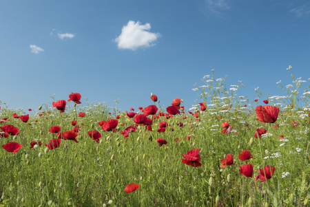 Brightly coloured poppies and other wild flowers in a meadow on a sunny day with blue sky in spring.