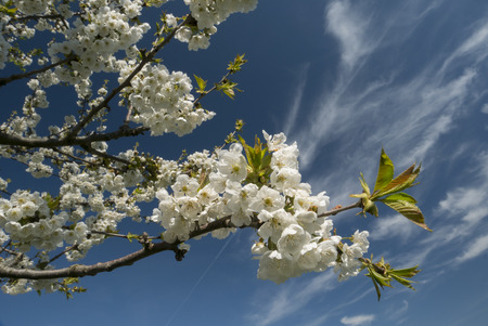 Branches with cherry blosson against blue sky.