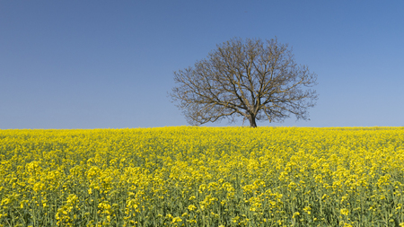 Single tree standing in the middle of a field of flowering rapseed in early spring. 版權商用圖片