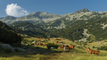 The high peaks of Pirin mountain with a herd of peacefully grazing cows underneath.