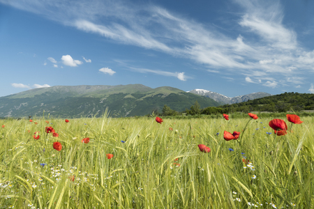 Beautiful wild flowers growing in a field of barley on a fresh spigtime day with blue sky and whispy white clouds.