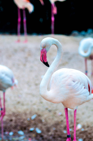 greater: Greater flamingo. Stock Photo
