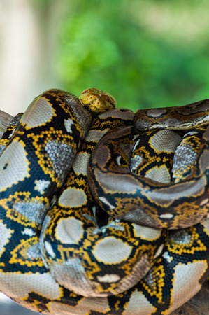curled up: Python curled up in a tree. Stock Photo