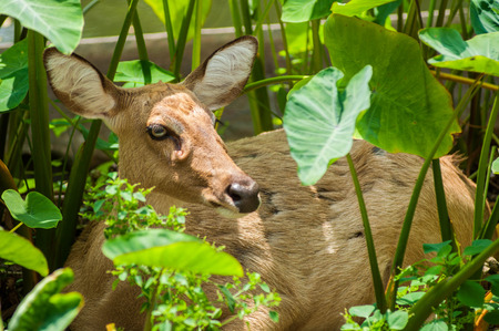 white tail deer: deer in nature.