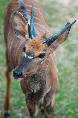 missouri wildlife: Deer  Looking Deer Zoo Deer Stock Photo