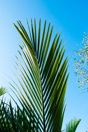 Leaves of palm tree on blue sky background. photo