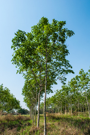 dankness: rubber plantation with blue sky background.