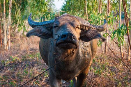 buffalo grass: buffalo standing on green grass