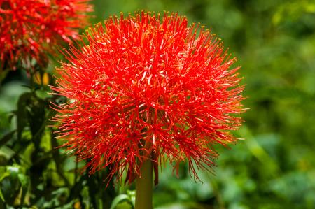 powder puff: closeup Blood flower Powder puff lily