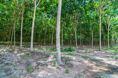 dankness: rubber plantation