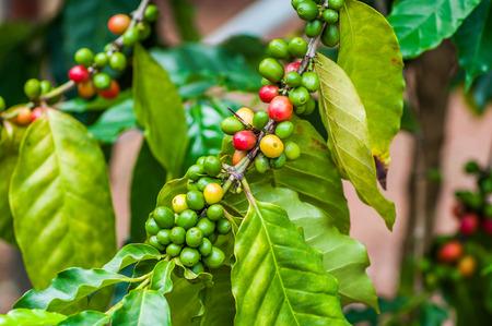 tree plantation: Coffee beans ripening on  tree plantation