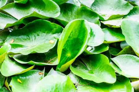 ix: Lotus plantation in pond at Suanluang RAMA IX park Stock Photo