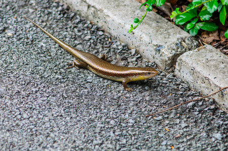 squamata: Skink in natural is a lizard that is rated as Squamata, snakes and lizards Scincidae