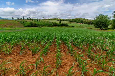 champ de maïs: ferme champ de maïs sur les pays avec fond de ciel bleu