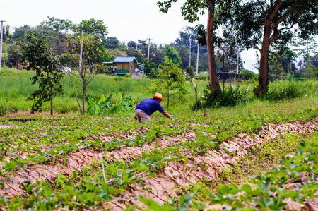 wang: Thai farming working strawberries berries in field Wang Nam Kheaw