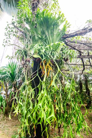 unfurl: platycerium coronarium on tree
