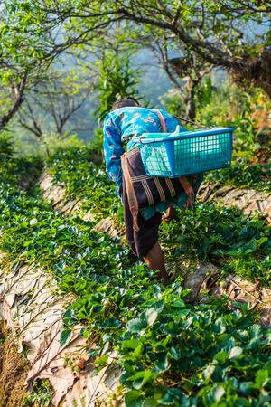 harvest field: Thai farming harvest strawberries berries in field