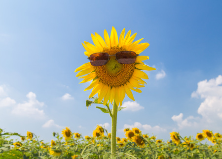 Sunflowers field is very beautiful in sunny day and blue sky. Stock Photo