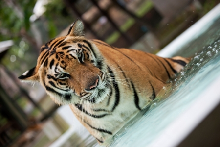 Big Indo-China tiger in the pool photo