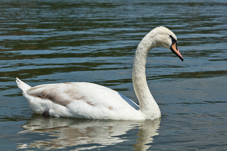 grandeur: white swan floating on water Stock Photo
