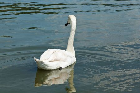 nobleness: white swan floating on water Stock Photo