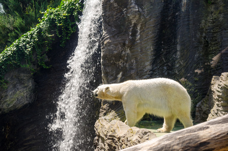 Polar bear in Prague zoo, clean day photo