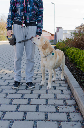 disobedient: Dogs walking sunset, labrador middle age dog, czech republic Stock Photo