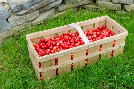 picked: Freshly picked organic cherries in crate, on lawn