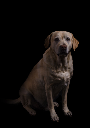 Labrador dog studio photography, black background photo