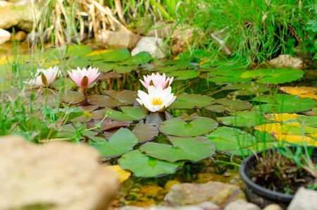 Natural pond in garden, bio garden with watterfall and water lilies