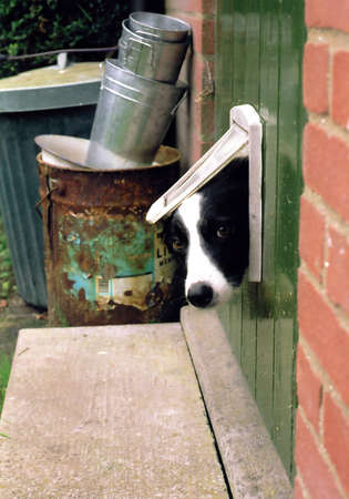 misfit: Collie dog looking through a catflap Zdjęcie Seryjne